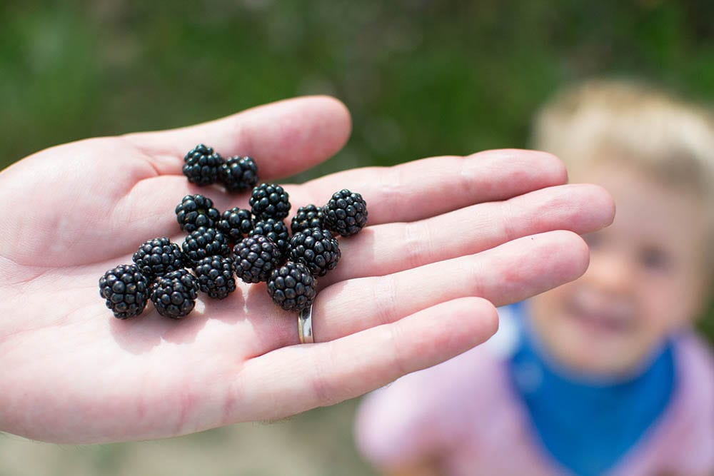 blackberry picking - how to motivate kids to walk further